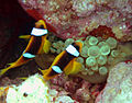 The islands (51) clown fish 1.JPG