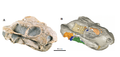 The skull of the nonmammalian synapsid Pristerodon mackayi.png