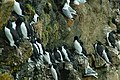 Thick-billed Murre 2012-06-07 (1) (7982786719).jpg