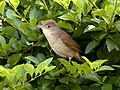 Thick-billed warbler (Iduna aedon) from The Anamalai hills JEG0661 (cropped).jpg
