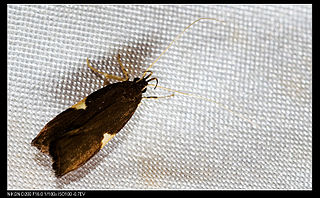 <i>Thubana deltaspis</i> species of insect
