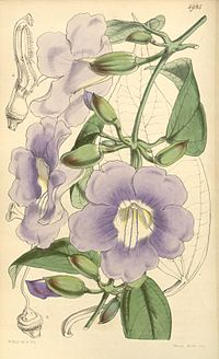 Thunbergia laurifolia Bot. Mag. 83. 4985. 1857