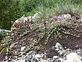 Thymus praecox subsp. praecox sl1.jpg