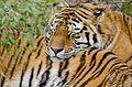 Tiger (16299933863).jpg