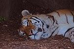 Tiger at the Toronto Zoo.jpg