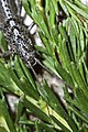 Timema sp. - walking stick insect.jpg