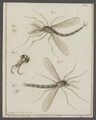 Tipula - Print - Iconographia Zoologica - Special Collections University of Amsterdam - UBAINV0274 038 03 0033.tif