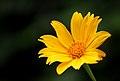 Tithonia diversifolia (Tree marigold).JPG