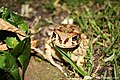 Toad In The Grass (190899125).jpeg