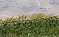 Tobacco field, Malatya 01.jpg