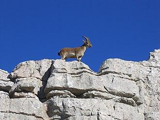 El Torcal de Antequera - Spanish ibex, Torcal de Antequera