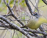 Torreornis inexpectata -Ciego de Avila Province, Cuba-8