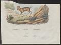 Tragulus pygmaeus - 1700-1880 - Print - Iconographia Zoologica - Special Collections University of Amsterdam - UBA01 IZ21500196.tif