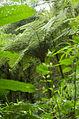 Tree fern in private cloud forest reserve, Montserrat Costa Rica (11752362173).jpg