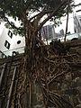 Tree growing on a wall, Shing Wong Street, Hong Kong - 20151206-02.jpg