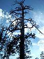 Tree off Omega Canyon Trail, Los Alamos, NM - panoramio.jpg