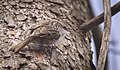 Treecreeper (39415897580).jpg