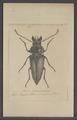 Trictenotoma - Print - Iconographia Zoologica - Special Collections University of Amsterdam - UBAINV0274 026 11 0002.tif