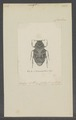 Trigonopeltastes - Print - Iconographia Zoologica - Special Collections University of Amsterdam - UBAINV0274 022 08 0028.tif
