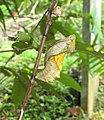 Troides minos - Southern Birdwing pupa at Thattekkadu (1).jpg