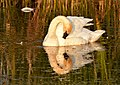 Trumpeter Swan on Seedskadee National Wildlife Refuge (29030449870).jpg