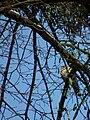 Turdus viscivorus in Schwetzingen 2010.jpg