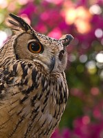 Turkestan Eagle Owl Kakegawa.jpg