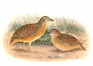 Red-chested buttonquail species of bird