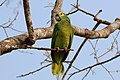 Turquoise-fronted amazon (Amazona aestiva) 2.JPG