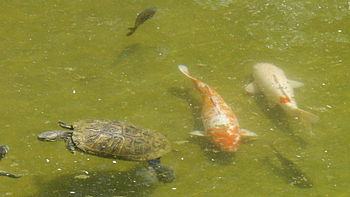 Red-eared slider turtle and Koi fish at pond i...