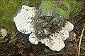 Tyromyces fissilis 10.jpg