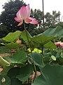 Ubon Ratchathani means the city of Lotus.jpg