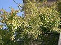 Ulmus parvifolia2.jpg