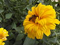 Unknown Helianthus flower with a bee.jpg