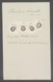 Urceolaria bursata - - Print - Iconographia Zoologica - Special Collections University of Amsterdam - UBAINV0274 113 21 0026.tif