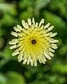 Urospermum dalechampii in Dunedin Botanic Garden 02.jpg