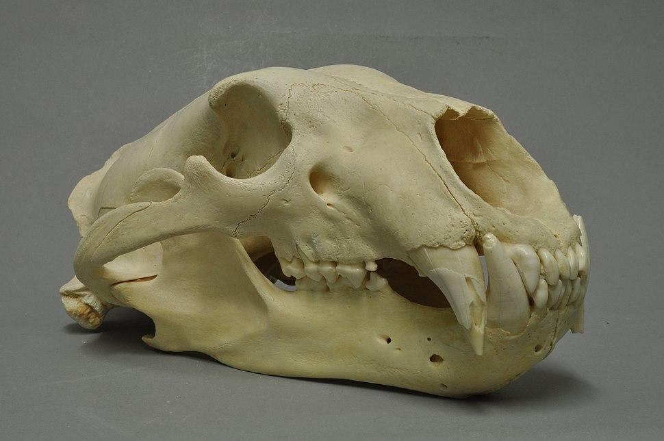 Ursus maritimus 05 MWNH 420
