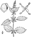 Urtica chamaedryoides BB-1913.png