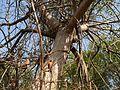 Uthi (Malayalam- ഉതി) (11543914136).jpg