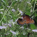 Valley Nature center uses native plants from their extensive native plant nursery..JPG