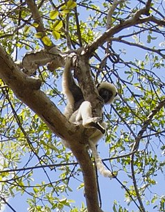 Sifaka in Namoroka