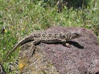 Sevan National Park - Eremias arguta transcaucasica