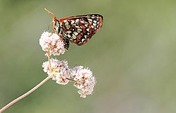 Variable Checkerspot (Euphydryas chalcedona).jpg