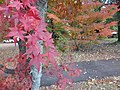 Variation of autumn colours on similar trees.jpg