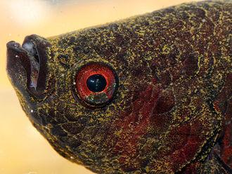 Velvet (fish disease) - Adult Siamese fighting fish (Betta splendens) with velvet disease