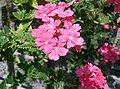 Verbena hybrida cv Hanatemari1.jpg