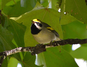 Golden-winged warbler - Male in St. Louis, Missouri