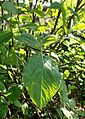Viburnum buddleifolium kz1.jpg