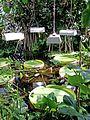 Victoria amazonica - Nymphaeaceae 05.jpg