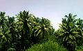 View of Coconut farms at Anakapalle.jpg